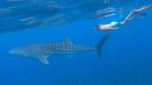 Tubarão baleia Maldivas Dhigurah